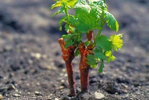 Как выращивать виноград из черенков в домашних условиях. Фото и видео