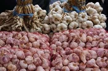 Выращивание чеснока в открытом грунте в Подмосковье. Фото, видео, советы