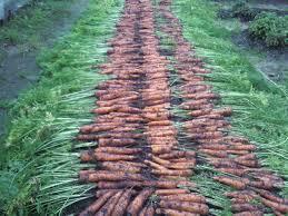 ля длительного сохранения урожая существуют простые правила:  сбор не ранее 120 дня от посева; ч