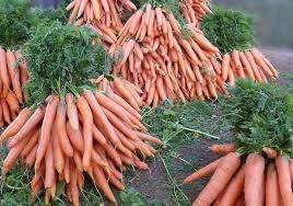 Выращивание моркови в открытом грунте. Видео
