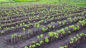 Школкой называется место, где происходит выращивание винограда из черенка. Это хорошо освещенный и проветриваемый участок с легкой и сыпучей почвой, куда внесены удобрения в достаточном количестве. В