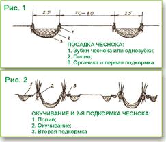 Схема посадки чеснока фото 752