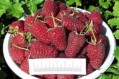 «Брянское диво». Плоды сорта довольно объёмные. Малина с чудеснейшим ароматом обычной формы. В ию