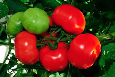 репятствует повреждениям при транспортировке. Они настолько красивы, что подойдут даже для продажи. Богатый урожай томатов пойдет как на стол, так и в заготовки. Хранятся плоды долго, что крайне удобно, учи
