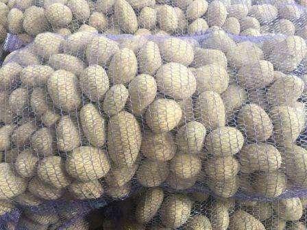 Картофель под названием «Бриз» относится к среднеранним сортам созревания. Для прекращения роста клубней и их созревания, должно в среднем пройти 60-80 дней с момента посадки. Именно спустя этот пе