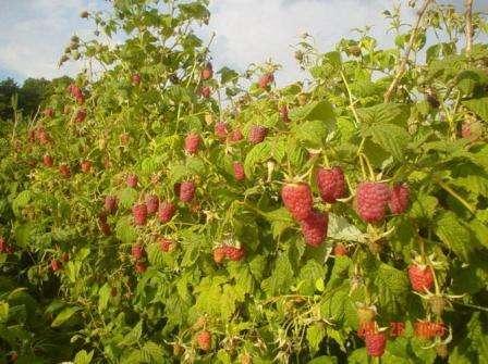 Если вы планируете посадить малину осенью, то саженцы нужно подготовить примерно за месяц. Если п