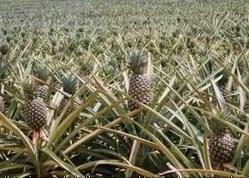 После этого ананас необходимо расположить в емкости с водой таким образом, чтобы погруженной в нее была только очищенная от листвы часть. Для упрощения этого можно воспользоваться четырьмя з