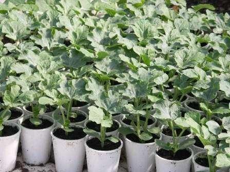 Высаживать арбузы в теплицу можно лишь тогда, когда на улице температура будет не меньше 22-25 г
