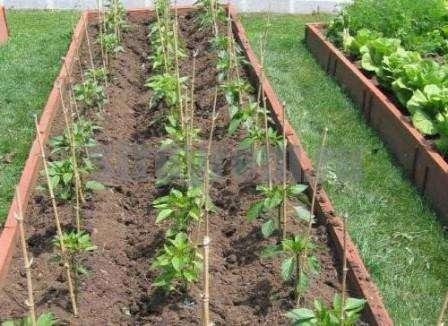 еред тем как высаживать семена для получения рассады, их следует обработать и продезинфицировать. Для этого, можно воспользоваться старым проверенным способом. Семена заворачиваются в тряпочку, посл