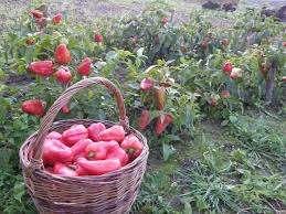 Независимо от того, какой перец будет выращиваться, сажают его при помощи рассады. Прежде всего, необходимо