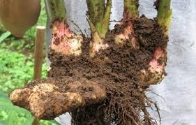 Ухаживать за имбирем не трудно. Обеспечьте культуре систематический достаточный полив, помните, что пересыхания почвы имбирь не переносит. Обязательно подкармливайте растение! Оптимально ему необходима подкормка всего пару раз ежемесячно. В качестве удобрения можно использовать коровяк, нас