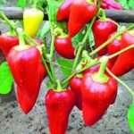 Перцы: выращивание и уход в домашних условиях