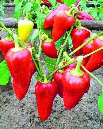 Выращивание перцев в открытом грунте в Подмосковье