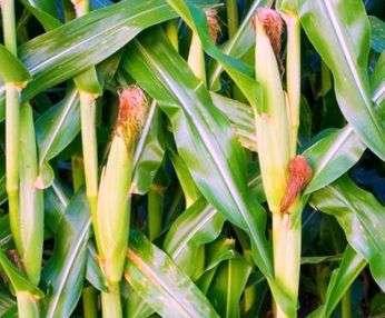 Погода во многом влияет на то, чтобы получить урожай данной культуры, поэтому со стороны огородников часто отмечается использование рассадного метода выращивания. Это требует произведения высадки семян в начале мая. Подросшим саженцам необходимо будет всего порядка двух-трех недель, чтобы максимально завершить