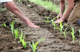 Чрезмерно влажная погода также недопустима для культуры при ее высадке в открытый грунт. В данном случае растение нуждается в дополнительном рыхлении, которое позволит избежать гниения корней. При э