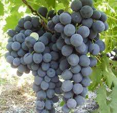 За один раз на куст винограда должно выливаться не меньше пятнадцати литров. Главное чтобы корни не з