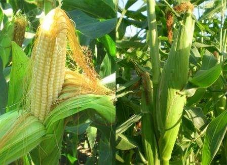 Несмотря на то, что сбор урожая является наиболее приятной частью выращивания этой культуры, к этому этапу также необходимо относиться внимательно. Наиболее удачное время для этого – период молочной спелост