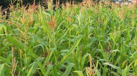 Больше всего молодые растения кукурузы боятся проволочников, являющихся личинками жука-щелкуна, которые активно занимаются поеданием сочной корневой системы культуры, и могут привести к гибели всего урож