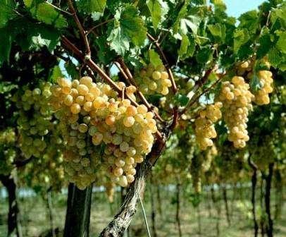 Не стоит забывать об обрезке виноградных лоз. Если этого не делать, то ягоды могут стать мелкими, а куст наоборот огромным. Не обрезается виноград только в год высадки в почву. Обрезание происходит уже на третий год его роста. Только в этом случае необходимо ориентироваться рекомендациям профессиональных в