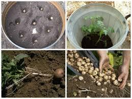 Картофель вырастает быстрее в теплой и обогащенной питательными веществами почве. По-своему принципу технология выращивания этой культуры в бочке или в какой-нибудь другой, похожей по структуре емкости не сильно отличается от посадки в открытый грунт. Емкость может быть сделана из любого ма