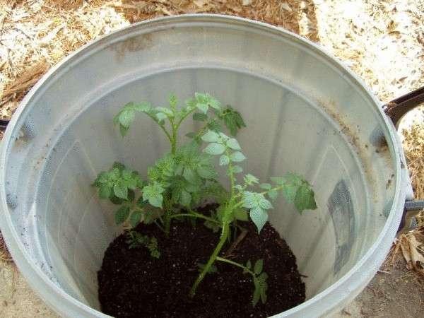 Выращивание картофеля в бочке: технология