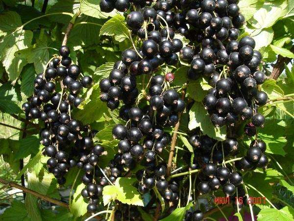 Как посадить черную смородину осенью. Фото и полезные советы