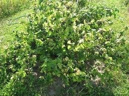 По мнению некоторых дачников, у смородины легко получится прижиться на каждом участке и на любой почве. Но данное утверждение не является правильным. Да, произрастать смородина не перестанет, но наск