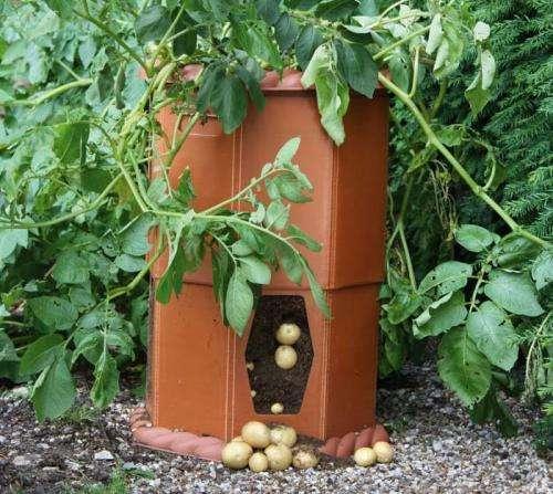 ащен за очень короткий срок. Поэтому нужно четко следовать технологии полива. Картофель, выращиваемый в бочке, не требует прополки, потому что сорняков как таковых нет. Никаких вредителей и вирусов