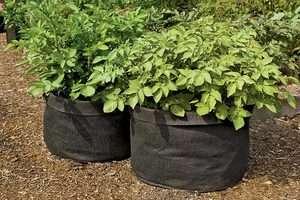 Как только ростки клубней поднимутся над землей на 12 см, необходимо как можно быстрее внести в почву азотные удобрения. Хорошо, если удобрения будут находиться в жидком состоянии. В таком случае на один ку