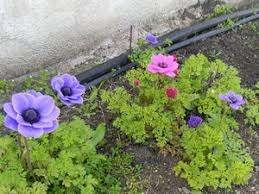 В период цветения анемоны необходимо приготовить подкормку жидким органическим веществом. Осенью л