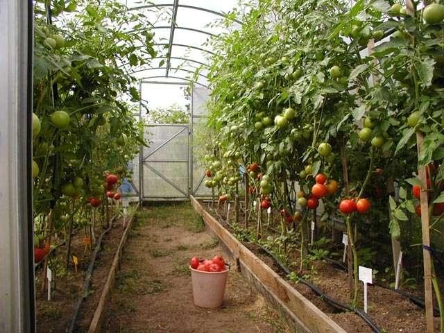 Когда начинать и как подкармливать рассаду перца и томатов для роста