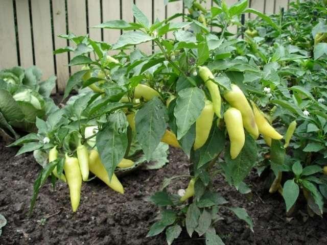 Как и чем подкармливать рассаду помидор и перца