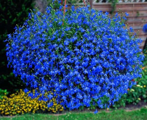 Как сажать лобелию в открытый грунт на садовом участке