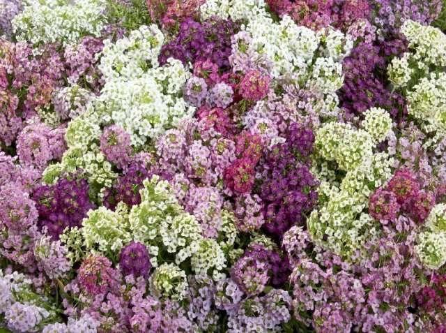 лобулярия - это неприхотливое в уходе растение