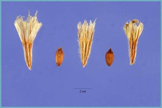 Семена армерии