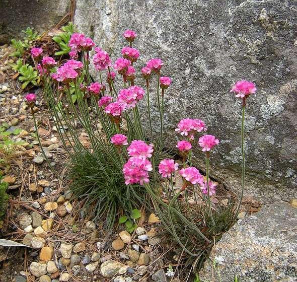 Армерия в ландшафтном дизайне – сочетание с другими видами растений