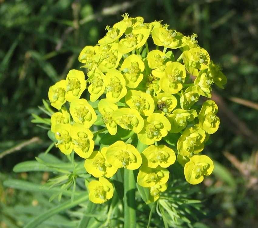 Медуницы: фотографии цветов на садовом участке и особенности ухода за цветником