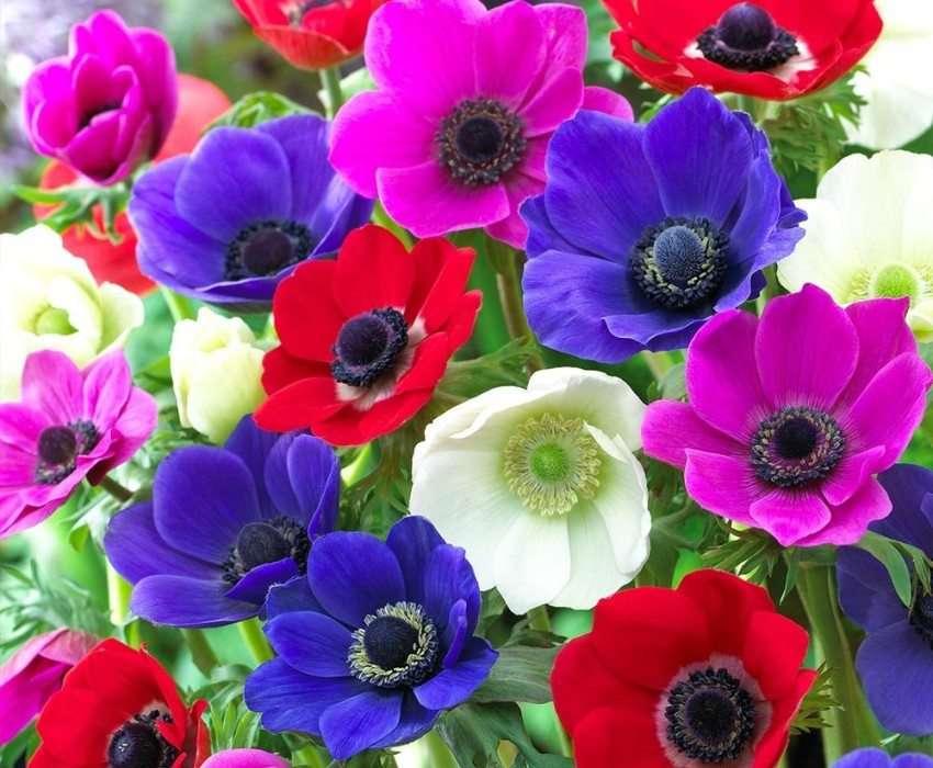 Анемоны: посадка , уход, фотографии цветов