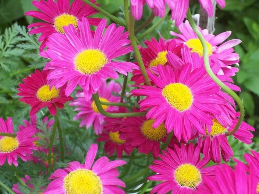 Пиретрум: фото для любителей садовых ромашек