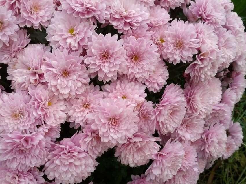 Хризантемы садовые многолетние: посадка и уход, фото