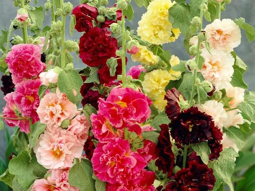 Шток роза: фото, специфичность