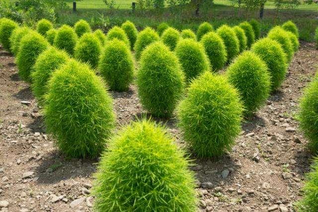 Как вырастить красивый куст кохии кипарисной у себя на даче