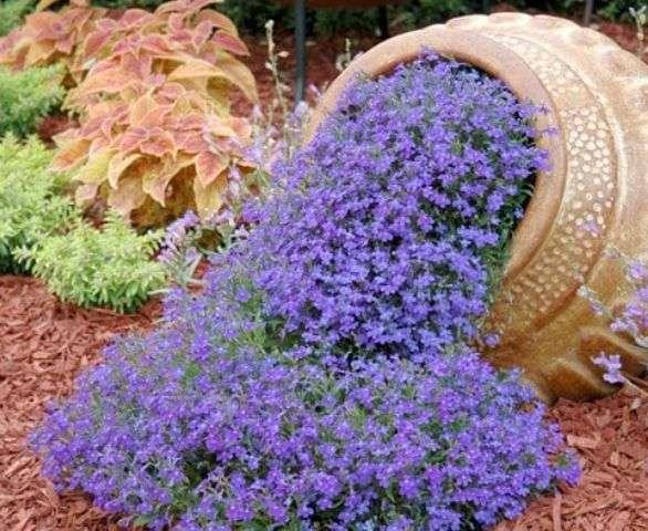 Цветы лобелия. Выращивание из семян в домашних условиях