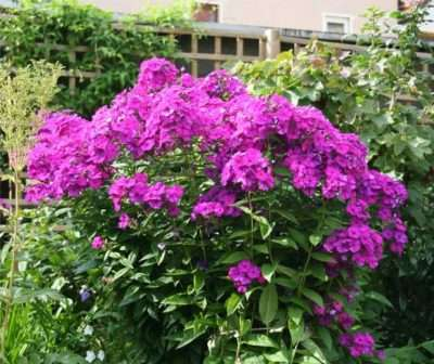 Какие существуют многолетние неприхотливые цветы для садового участка