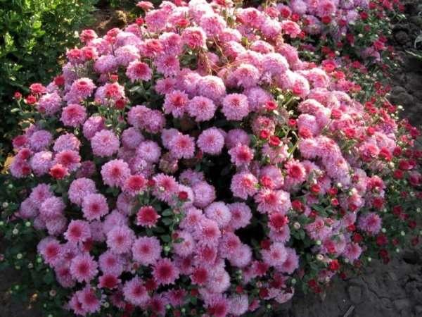 Цветут ли многолетние весь летний сезон, также как многие однолетние