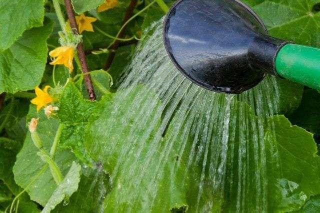 неправильный полив растения