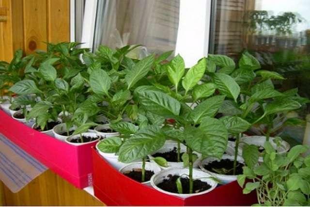 Выращивание острого перца в домашних условиях на подоконнике или балконе