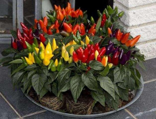 выращивании острого перца в домашних условиях