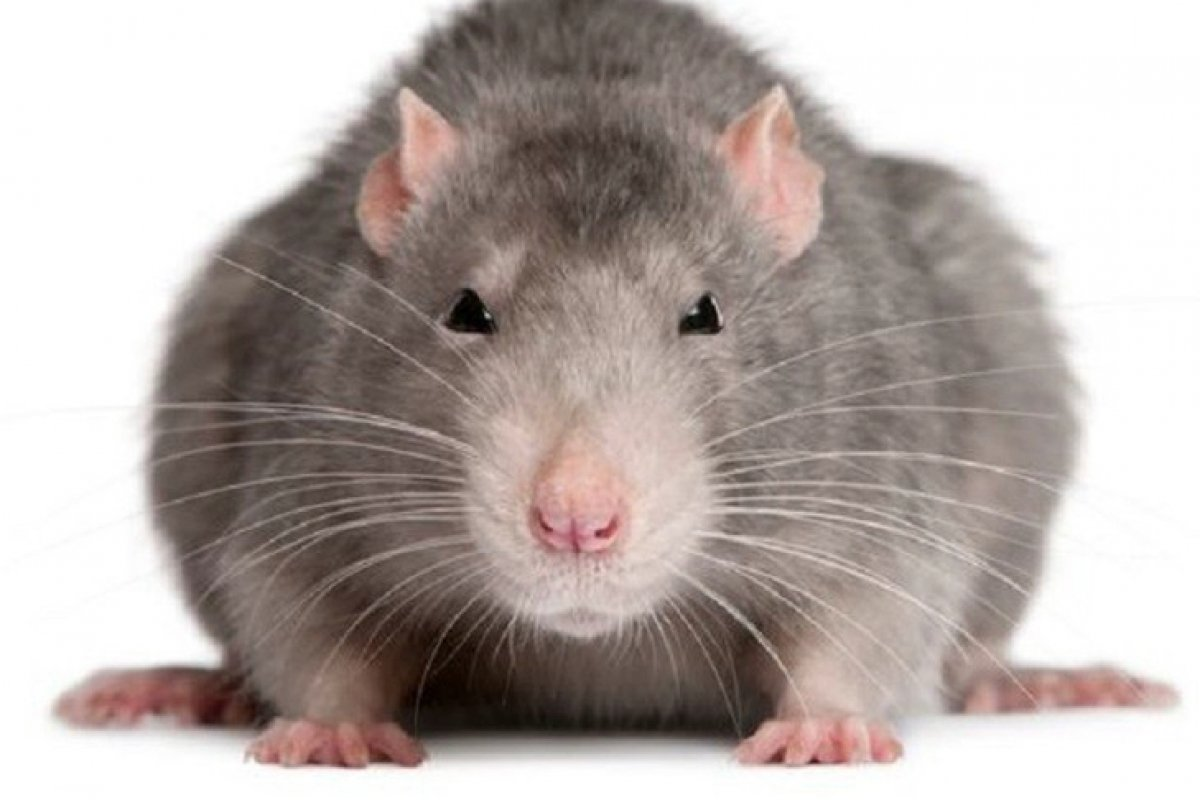 Ловушки для крыс - самые эффективные методы