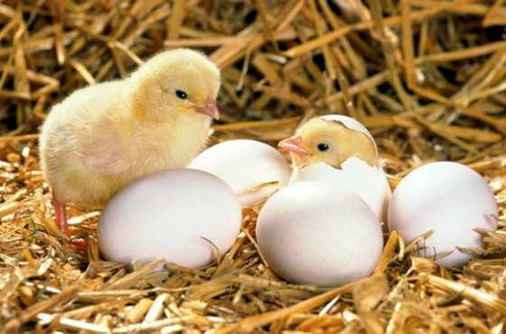 Как выбрать яйца, которые можно поместить в инкубатор?